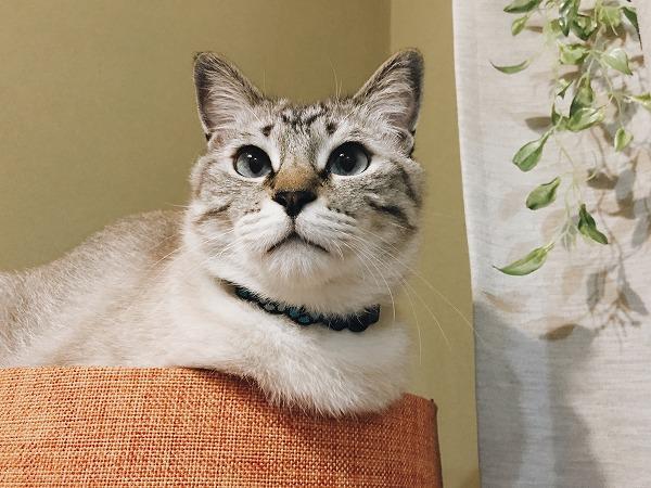セットカーサのてっぺんにいるシャムトラ猫