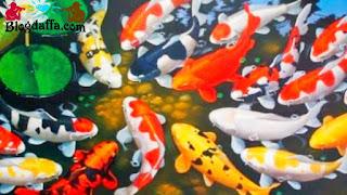 Ikan Koi Dipercaya dapat Membawa Keberuntungan