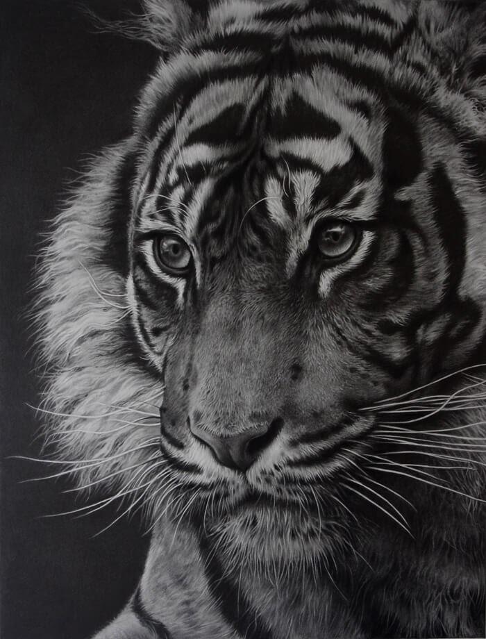 12-Solitude-Tiger-Julie-Rhodes-Wildlife-Animals-Realistic-Pencil-Drawings-www-designstack-co
