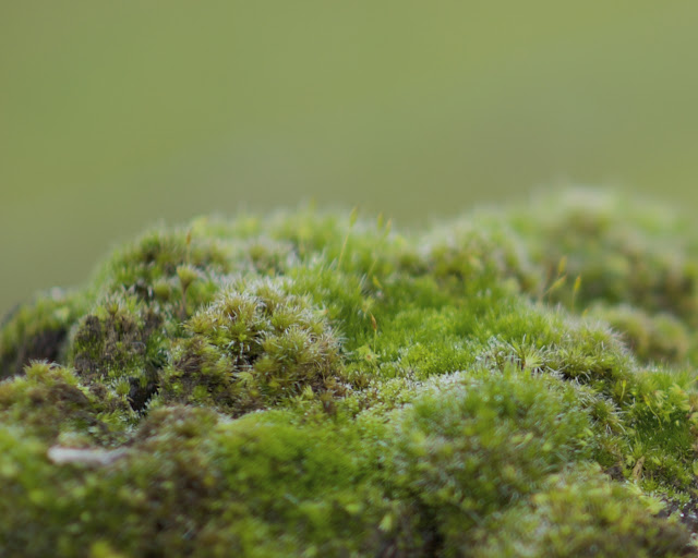 Moss on a fence post