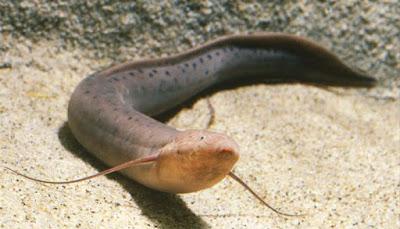 Lungfish Ikan Predator Air Tawar Tipe Bawah