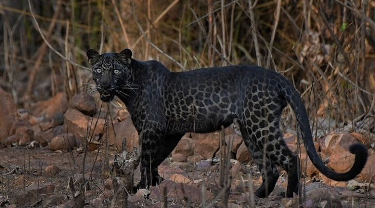 Turistas logran fotografiar al impresionante leopardo negro que rara vez aparece en India