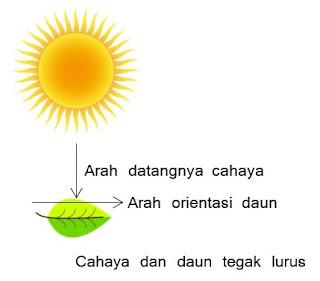 Cahaya dan daun tegak lurus