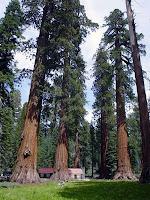 Mamut ağaçları