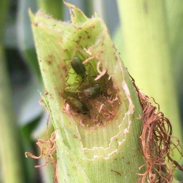 Consejo de agronomía: Estrategias para el manejo del gusano de la raíz del maíz