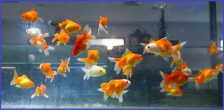 Kapasitas aquarium ikan koki