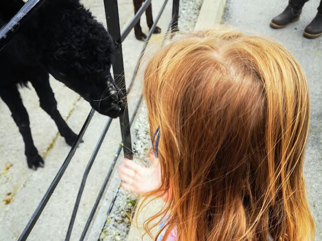 Image of a young girl hand feeding a black llama/alpaca some green food pellets at Graves Park Animal Farm