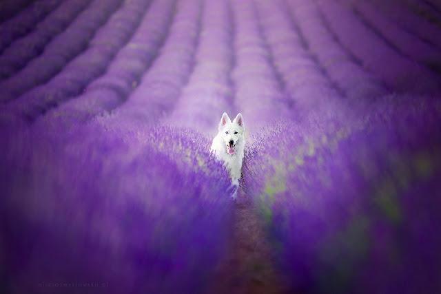 cánh đồng hoa oải hương đẹp nhất thế giới 13