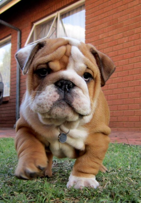 baby bulldog puppies how to groom english bulldog annie many 8008