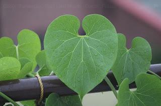 9 Herbal Alami Untuk Pengobatan Penyakit Asam Urat