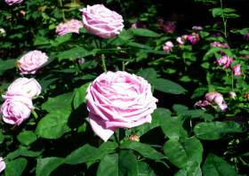 rose comtesse Cécile de chabrillant