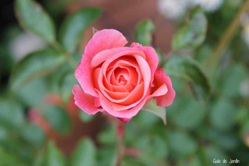 Rosa Boticcelli
