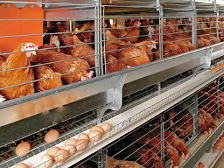 Poultry Farming Business Start up-Business Plans