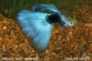 Half Black Light Blue Finnage