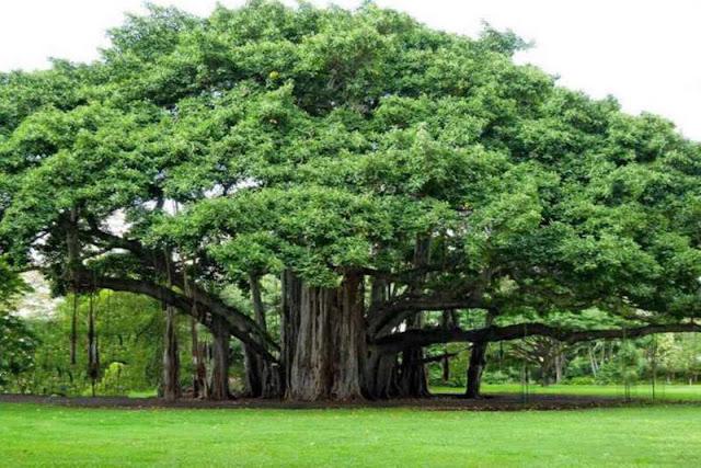 İncir Ağacını Ele Geçirmek