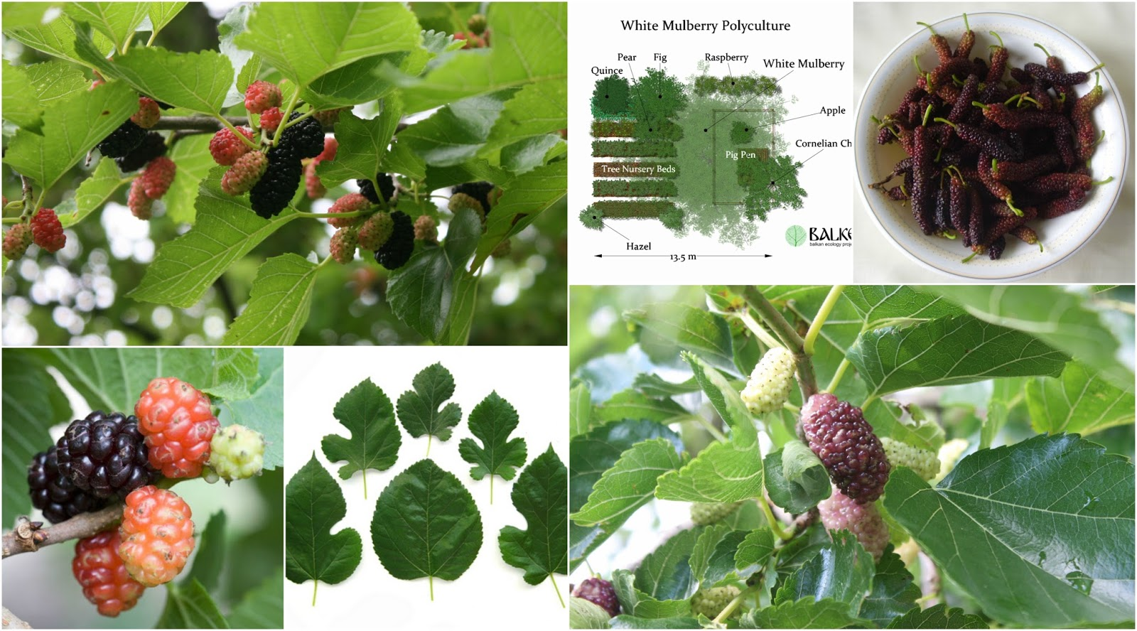 Fruitless Mulberry Wood