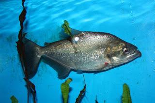 Mengenal Lebih Dekat Black Piranha Dan Pike Piranha, Ikan Piranha Termahal Di Indonesia