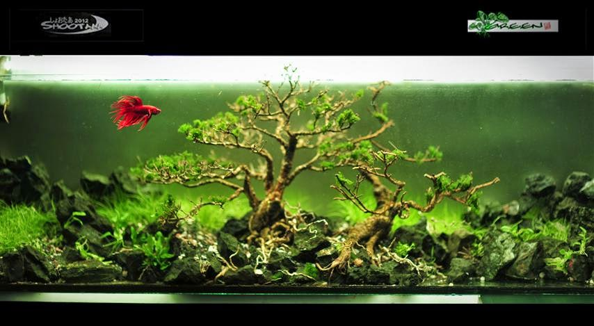 Betta fish tank aquascape