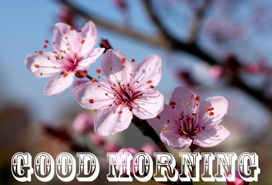 Good Morning Blessings With Cherry Blossom Flowers
