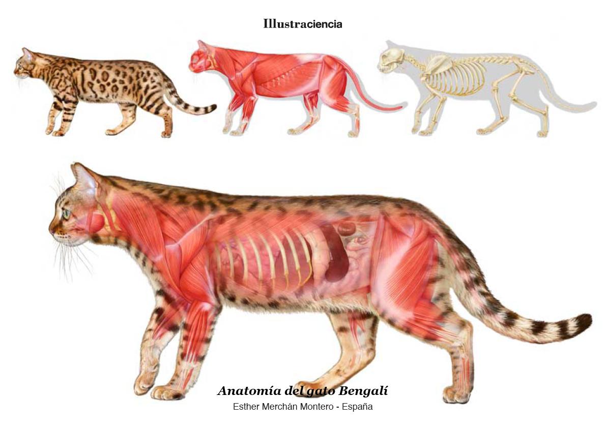 Anatomía del gato Bengalí - Esther Merchán Montero