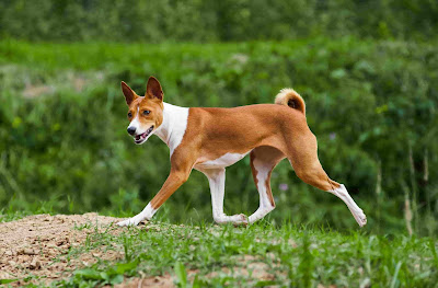 African dog breeds, African dogs