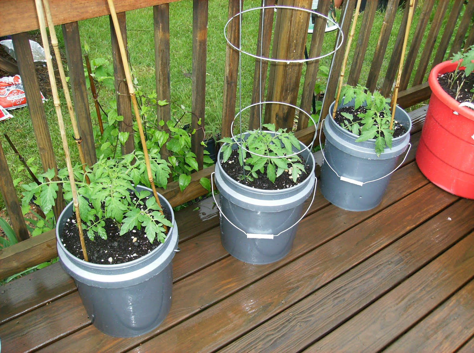 Ordinaire The Tomatoes Are In 5 Gallon Paint Buckets. I Have A Krim, Rutgers, And  Black Plum.
