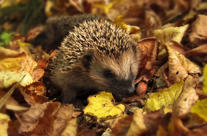 8 FACTS About Hedgehogs You Should Know