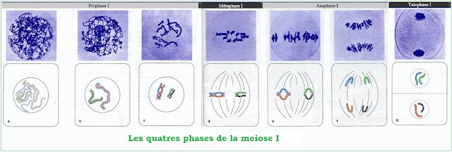 Schémas illustrant les différents stades de la méiose I