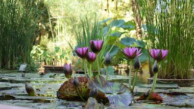 Plantas acuáticas y compañía: vivir en el estanque