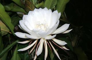 tanaman hias termahal di dunia