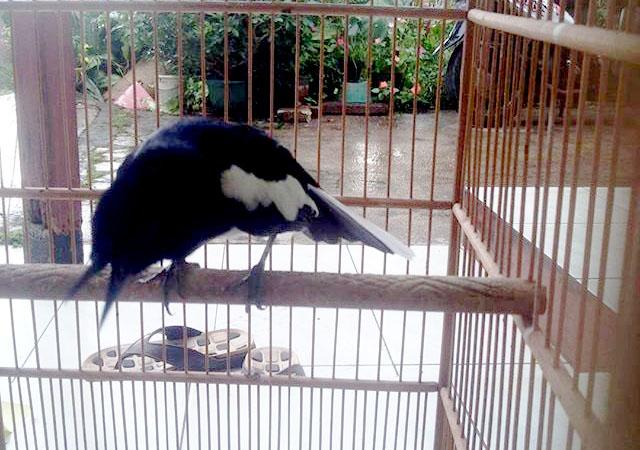 Gambar Burung Kacer Mbagong