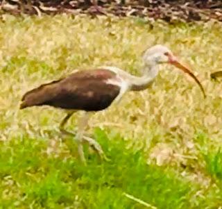 immature white ibis; Mt. Pleasant; South Carolina; Giorgio Coniglio