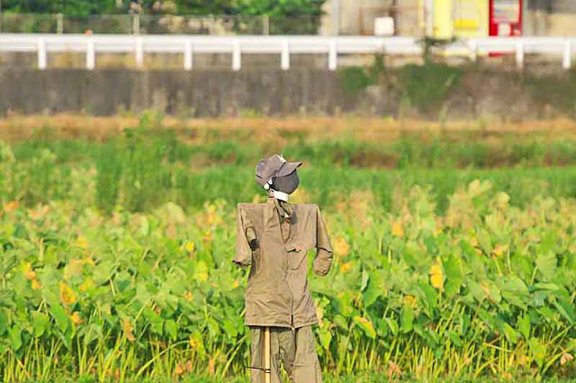 scarecrow, fields, Kin, Japan, Okinawa