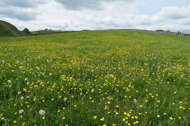Low-down shot of an expanse of buttercups and dandelion seed heads.