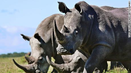 Selling fake horn in effort to save rhinos