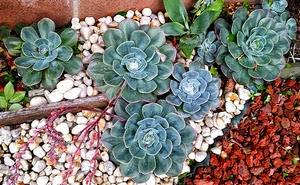 Pebbles can be used as mulch for Succulents