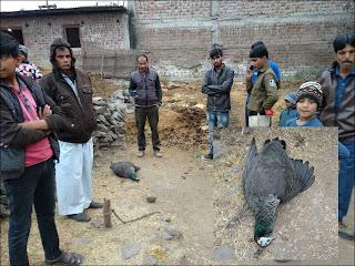 राष्ट्रीय पक्षी मोर की अचानक मृत्यु