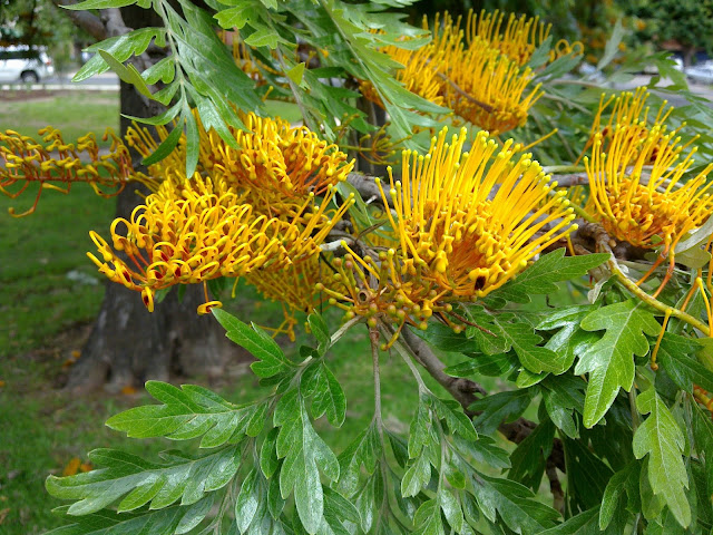 Grevillea_robusta_leaves_and_flowers_1.j