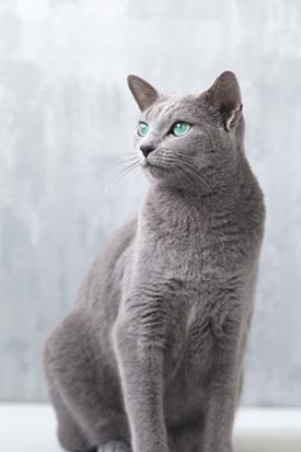القط الأزرق الروسي