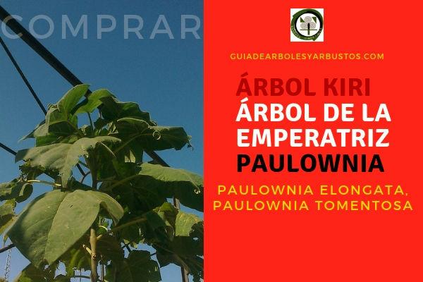 Aquí es donde puedes comprar árbol Kiri o Paulownia o Árbol de la Emperatriz