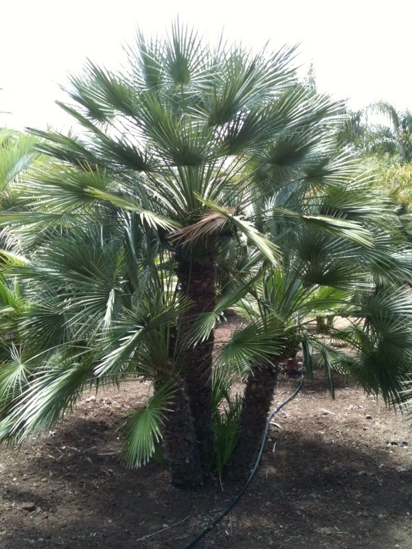 Gregory Palm Farms Evergreen Palm Trees Green Gregory