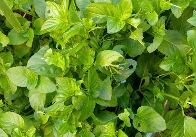 mint eaten by caterpillars