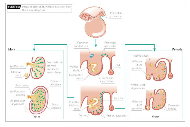 Gonadal Development In The Embryo, Role of sex chromatin in reproductive development,