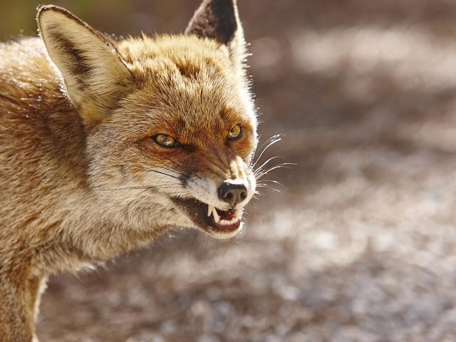 الثعب غاضب يهاجم