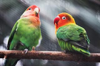 علاج التشحم عند الطيور
