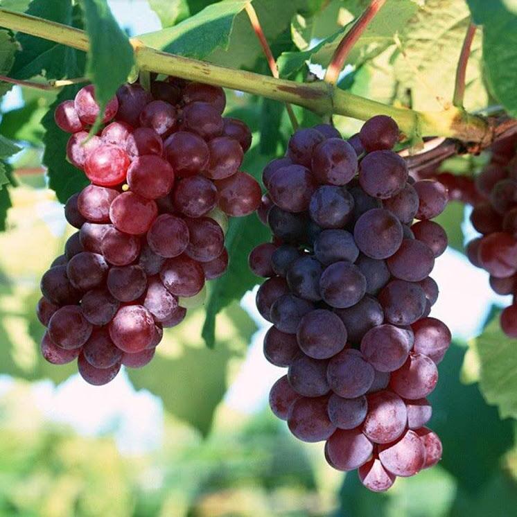 Bibit Tanaman Buah Anggur Merah Sumatra Selatan