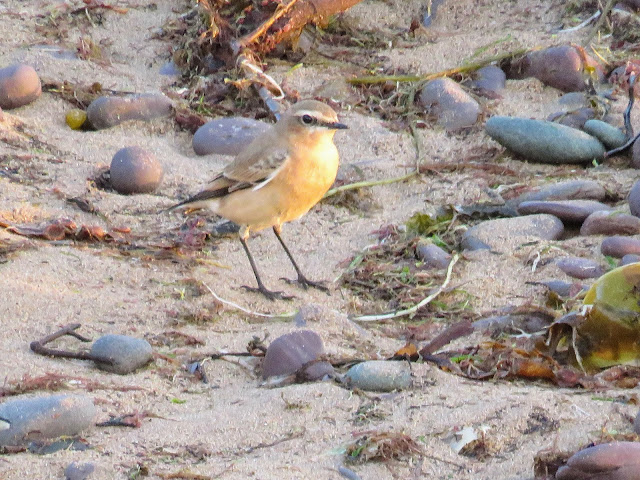 Northern Wheatear on the beach in Waterville, Ireland