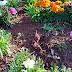 Videira – Furto de flores compromete trabalho de embelezamento