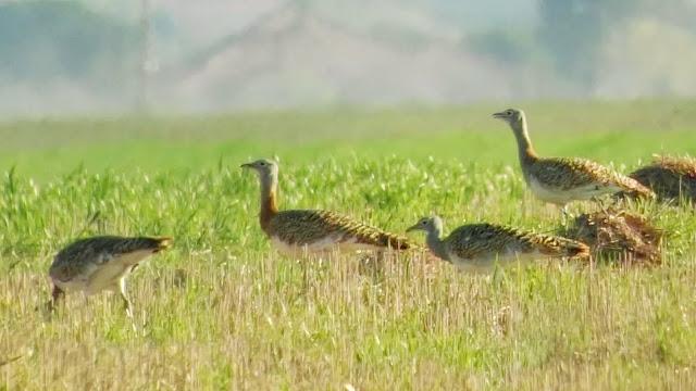 Avutarda, Otis tarda, alimentación, grupo jovenes, machos, ZEPA 139, Estepas cerealistas ríos Jarama y Henares, Valdetorres del Jarama, marzo 2017
