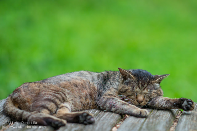 気持ちよくお昼寝している猫